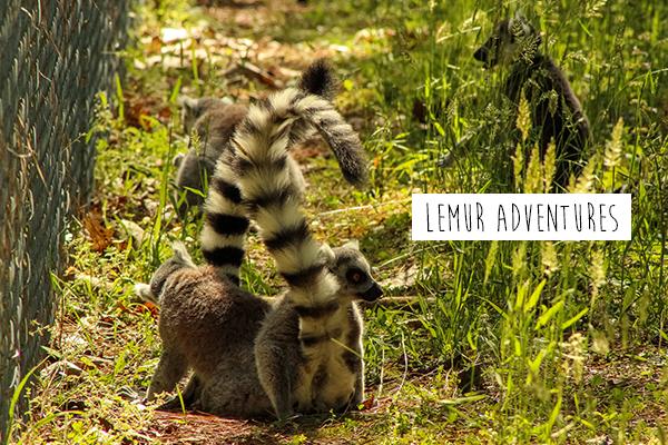 lemur1.png