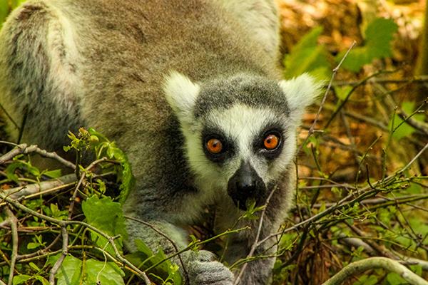 lemur3.png
